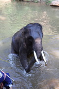 Elephant Baths - Maesa Elephant Camp - Chiang Mai Thailand - 011327 Print by DC Photographer