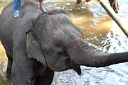 Thailand Art - Elephant Baths - Maesa Elephant Camp - Chiang Mai Thailand - 01135 by DC Photographer