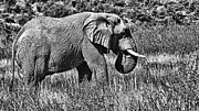 Tusk Posters - Elephant Bull-Black and White Poster by Douglas Barnard
