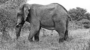 Tusk Posters - Elephant Bull in Black and White Poster by Douglas Barnard