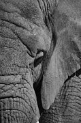 Elephant Photo Posters - Elephant BW Poster by Ernie Echols