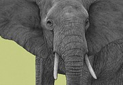 Wild Life Drawings Prints - Elephant Print by Dirk Dzimirsky