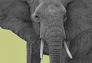 Elephant Print by Dirk Dzimirsky