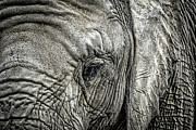 Skin Photo Metal Prints - Elephant Metal Print by Elena Elisseeva