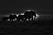 Elephant Photo Posters - Elephant Family Poster by Aidan Moran