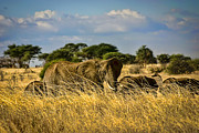 Dominant Prints - Elephant Family in the Grass Print by Darcy Michaelchuk