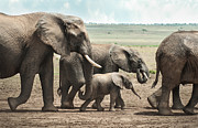 Little Elephant Posters - Elephant Family Poster by Philip Ellard