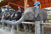 Elephants Prints - Elephant Greeting - Maesa Elephant Camp - Chiang Mai Thailand - 01133 Print by DC Photographer