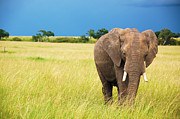 Wild Life Photos - Elephant in Masai Mara Kenya by Charuhas Images
