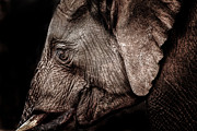 Relaxed Framed Prints - Elephant Profile Framed Print by Mike Gaudaur