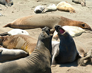 California Tourist Spots Prints - Elephant Seal Birthing Grounds Two Elephant Seal Bulls Fighting Print by Author and Photographer Laura Wrede