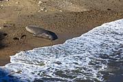 Seals Posters - Elephant Seal Sunning On Beach Poster by Garry Gay