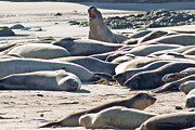 Ano Nuevo Posters - Elephant Seals at Ano Nuevo State Park California Poster by Natural Focal Point Photography