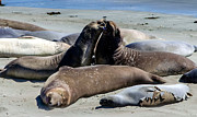 Mike Ronnebeck - Elephant Seals
