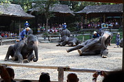 Asia Framed Prints - Elephant Show - Maesa Elephant Camp - Chiang Mai Thailand - 011315 Framed Print by DC Photographer