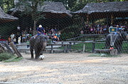 Camp Photos - Elephant Show - Maesa Elephant Camp - Chiang Mai Thailand - 011325 by DC Photographer