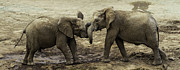 John Haldane - Elephant Sibling Rivalry