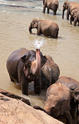 Pinnawela Photos - Elephant takes a shower by Jane Rix