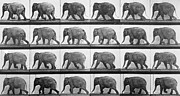 Elephant Prints - Elephant Walking Print by Eadweard Muybridge