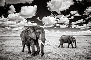 Tusk Posters - Elephants and Clouds Poster by Mike Gaudaur