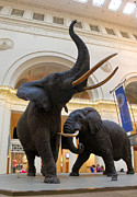 Gregory Dyer - Elephants at Chicago Field Museum