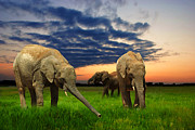 Standing Digital Art Posters - Elephants at sunset Poster by Jaroslaw Grudzinski