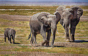 Marion McCristall - Elephants in Amboseli