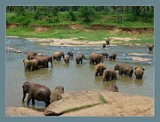 Ajithaa Edirimane - Elephants in the River