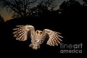 Elf Owl Print by Scott Linstead