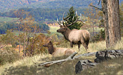 Elk Paintings - Elk Art - Return of the Mighty Elk - Fine Art Elk Painting by Elk Artist Dale Kunkel