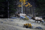 Enemies Photos - Elk Battle Stalk by Nava Jo Thompson