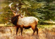Amy G Taylor - Elk Display