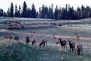Elk Photos - Elk Herd on Rolling Hills by Marilyn Burton