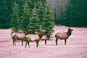 Elk In Canada Print by Richard Jenkins