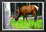 Elk Or Wapiti Framed Prints - ELK in Montana Framed Print by Larry Stolle