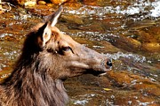 Elk Photos - Elk in Stream by Marilyn Burton