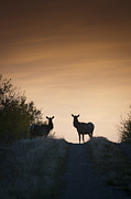 Deer Silhouette Prints - Elk in the Morning Print by Bill Cubitt