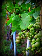 Grape Leaves Photos - Elk Run Vineyards 2 by Patti Whitten