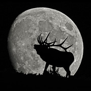 Bull Elk Prints - Elk silhouette on moon Print by Ernie Echols