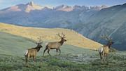 Bulls Art - Elk Surprise.. by Al  Swasey