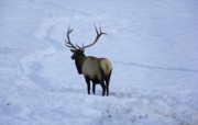 Elk Mixed Media - Elk Winter Photography by Photography Moments - Sandi