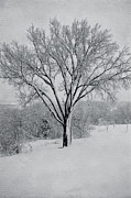 Elm Photo Framed Prints - Elm In Snow Framed Print by Kay Pickens