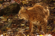 Shelley Myke Framed Prints - Elusive Bobcat on an Autumn Prowl in  Framed Print by Inspired Nature Photography By Shelley Myke