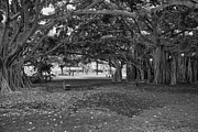 Park Benches Photo Metal Prints - Embraced by Trees Metal Print by Douglas Barnard