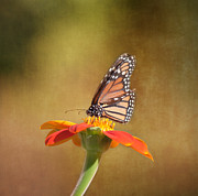 Butterfly Photographs Posters - Embracing Nature Poster by Kim Hojnacki