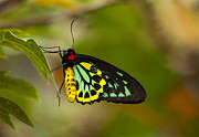 Butterfly Drawings - Emerald Beauty by Mike  Dawson