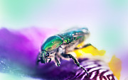Color Symbolism Prints - Emerald Beetle on Purple Iris. Macro Iris Series Print by Jenny Rainbow