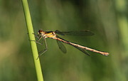Peter Skelton - Emerald Damselfly