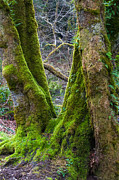 D5000 Prints - Emerald Forest Print by Roger Reeves