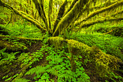 Olympic National Park Prints - Emerald Hoh Print by Joseph Rossbach